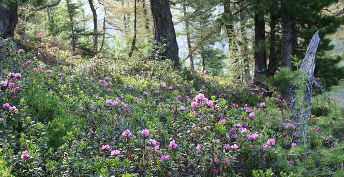 Rhododendron Valais © Philippe Werner